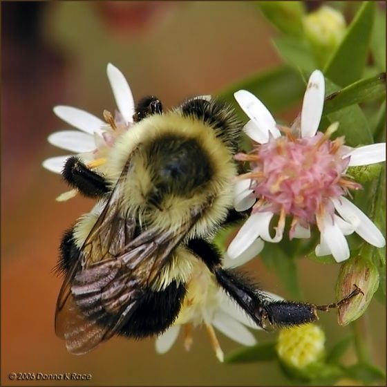 Bumble Bee - Bombus impatiens - female