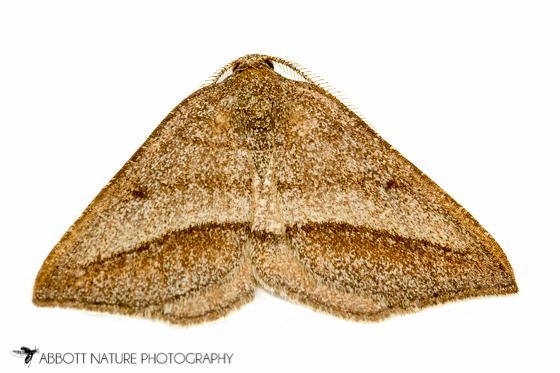 geometrid - Macaria varadaria - male