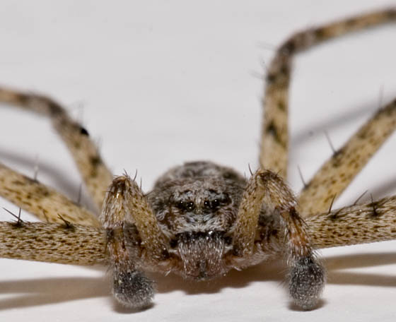 Flat Spider - face - Philodromus - male