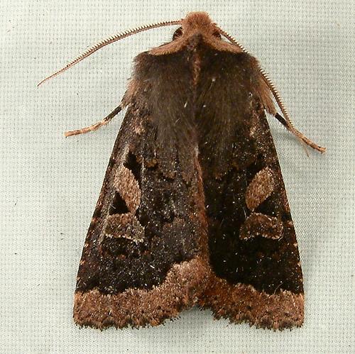 1395 Orthosia praeses - Protector Quaker Moth 10480 - Orthosia praeses - male