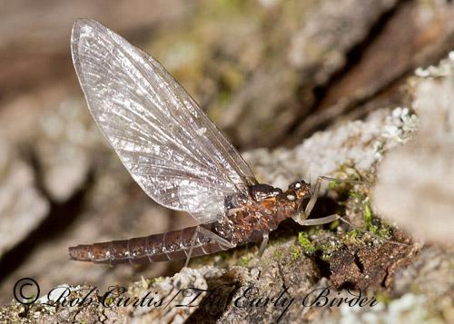 9032945 mayfly - Serratella