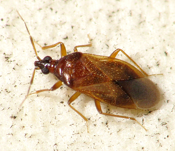 Amphiareus obscuriceps? - Amphiareus obscuriceps