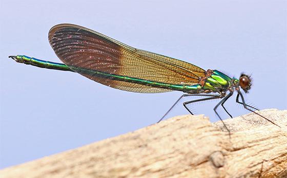 Calopteryx aequabilis - River Jewelwing - Calopteryx aequabilis - male