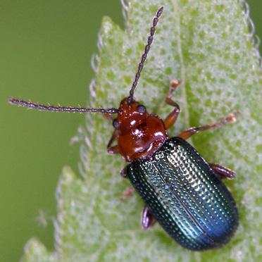 Beetle - Trichaltica scabricula