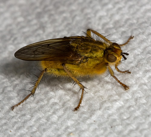 Fly - Scathophaga stercoraria