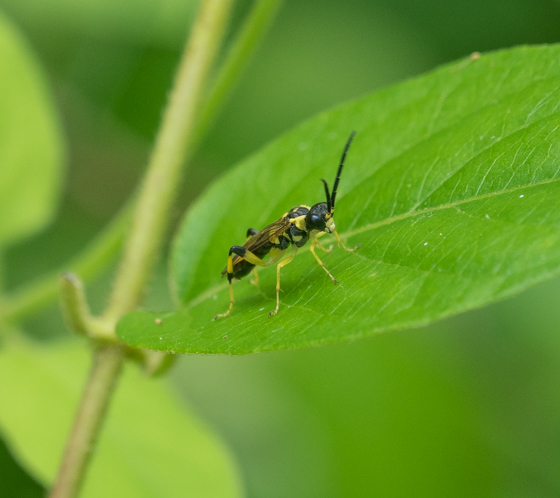 Small wasp sp.?