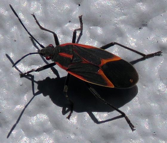 Boxelder Bug (?) - Boisea trivittata