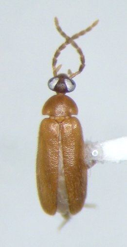 Scraptiid - Canifa - male