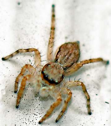 Hawaii Spider