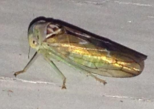 Unknown Leafhopper - Idiocerus