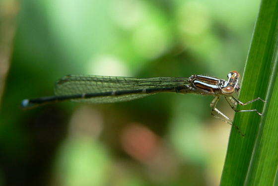 Stream Bluet - Enallagma exsulans - male