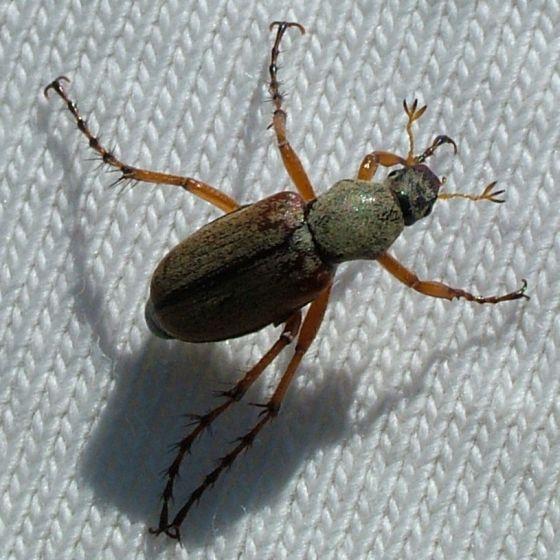 Beetle on a T-shirt - Macrodactylus