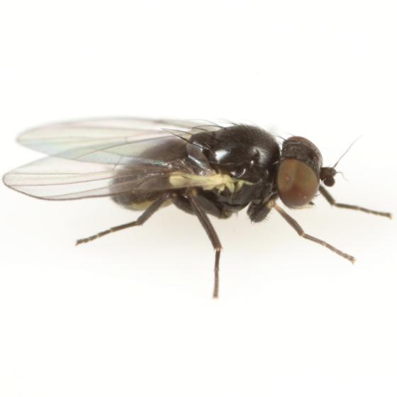 Cerodontha saintandrewsensis - male