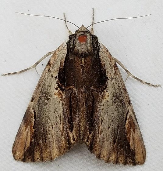Catocala ultronia (Ultronia Underwing) - Catocala ultronia