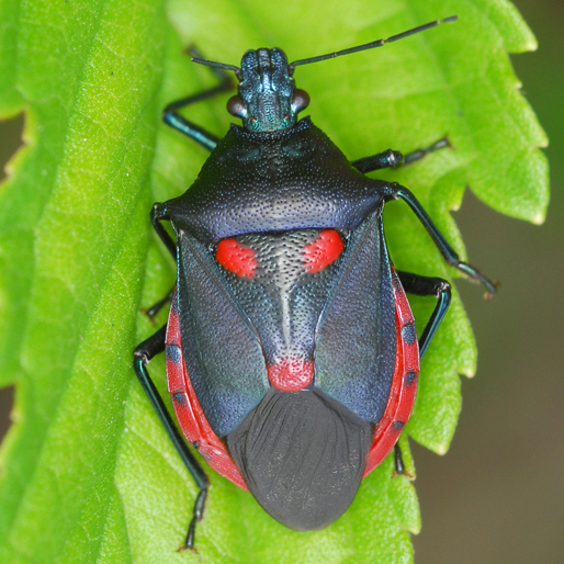 Florida predatory stinkbug - Euthyrhynchus floridanus