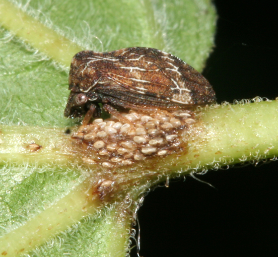 Membracidae, with eggs - Publilia concava