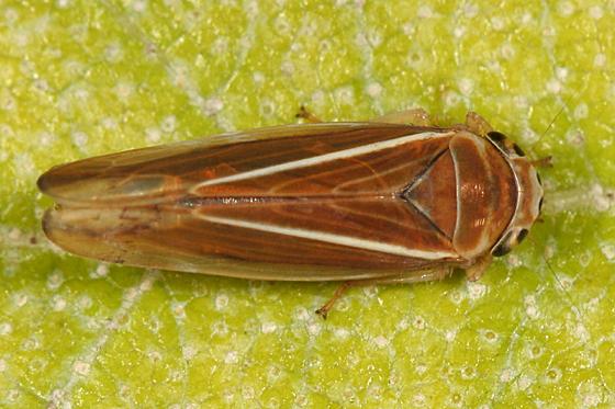 Leafhopper - Idiodonus kennecottii