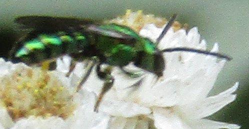 Metallic Green Sweat Bee - Augochlora pura