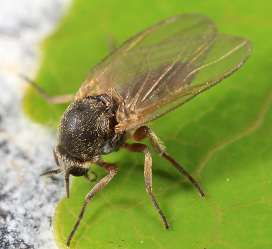 Black Fly - Prosimulium - female