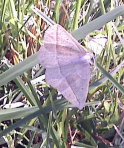 Moth for an I.D. please - Species Eusarca confusaria - Confused Eusarca - Eusarca confusaria