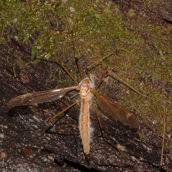 Fungus-killed crane fly - Tipula