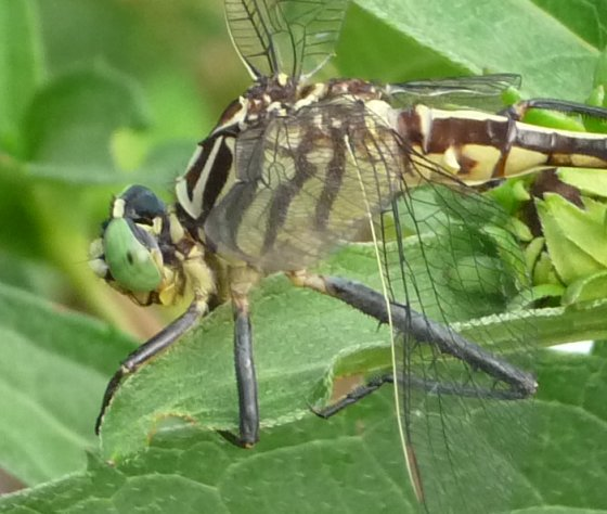 Southeastern Spinyleg - Dromogomphus armatus