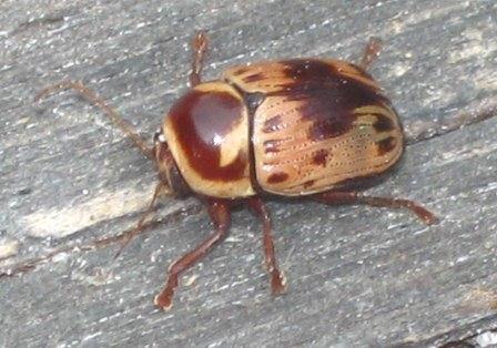 beetle, poss. a leaf beetle, chrysomelidae - Cryptocephalus mutabilis
