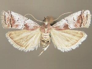 Salebriaria fergusonella - Hodges #5774.3 - Salebriaria fergusonella - male