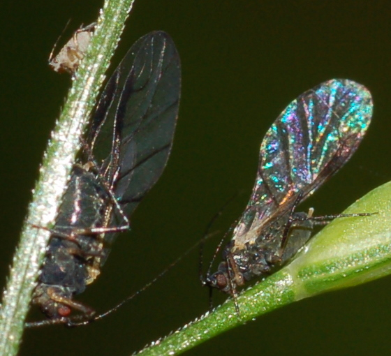 Grass aphids