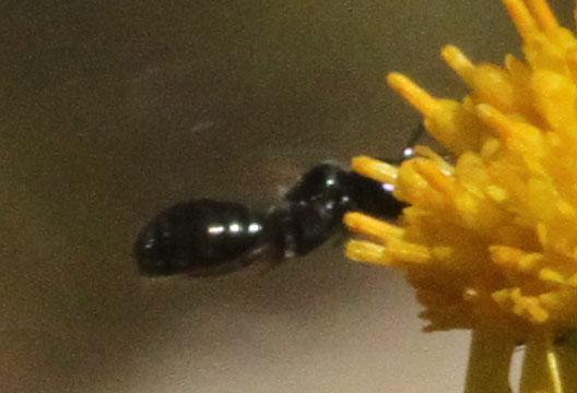 Small black bee on Tansy Ragwort - Ceratina