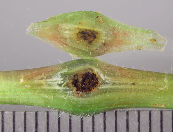 Curculionidae - Virginia creeper gall, opened - Ampeloglypter ampelopsis