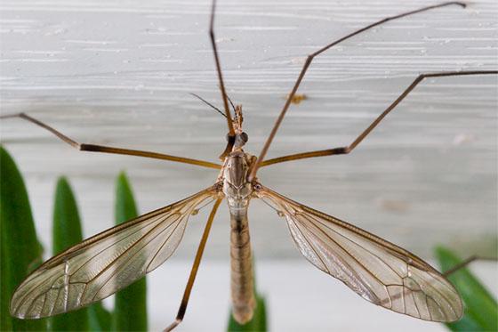 Tipula oleracea? - Tipula - male
