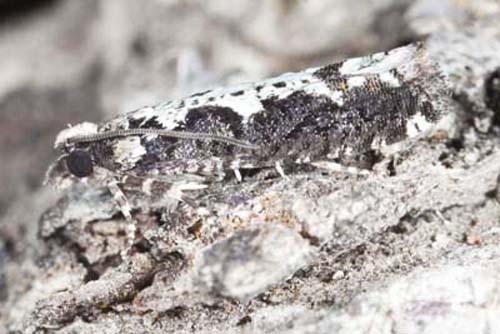 Chimoptesis pennsylvaniana - Chimoptesis