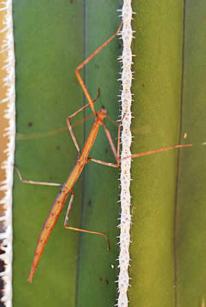 walking stick bug - Diapheromera arizonensis - female