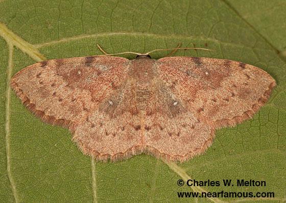Leptostales? Cyclophora? - Semaeopus gracilata - female
