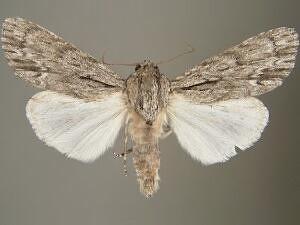 Acronicta extricata - Hodges #9265 - Acronicta extricata - male