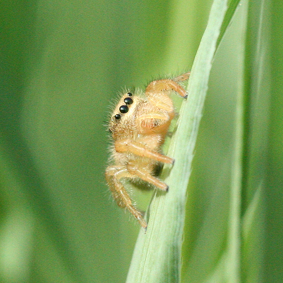 Blonde Jumping Spider - Phidippus cardinalis - female