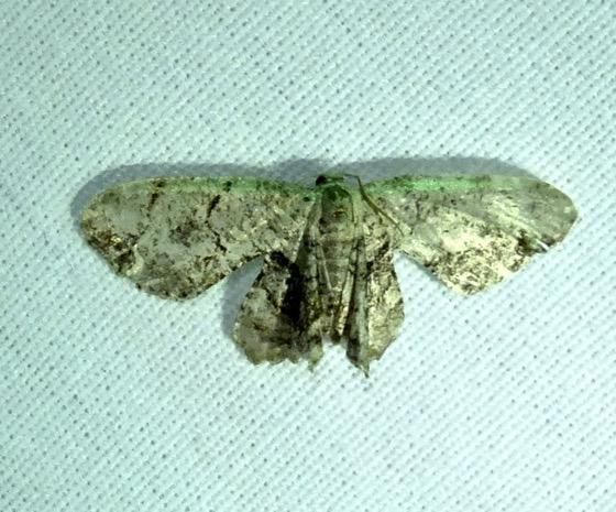 Gray Scoopwing - Callizzia amorata