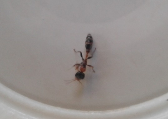 Weird ant that I can't find the name of - Pseudomyrmex gracilis - female