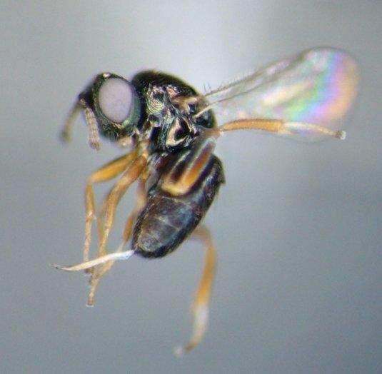 parasitoid - Ormyrus