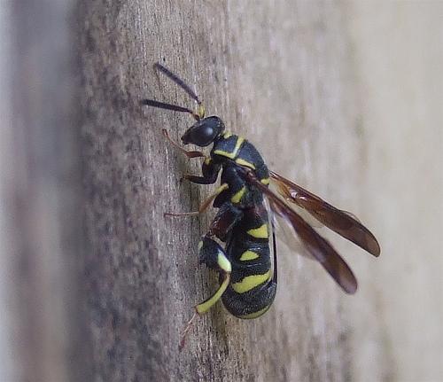 parasitic wasp - Leucospis affinis - female