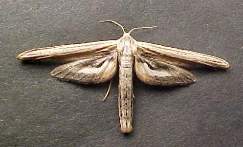 Plume Moth - Meskea dyspteraria