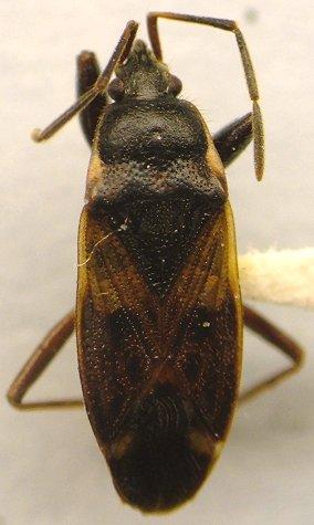 Bug - Eremocoris ferus