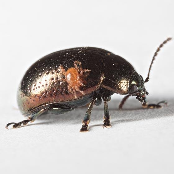 Klamath Weed Beetle? - Chrysolina