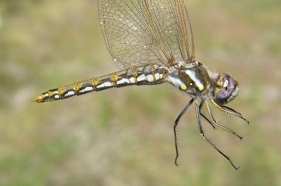 Variegated Meadowhawk - Sympetrum corruptum - female