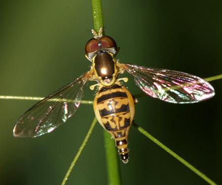 Syrphid - Toxomerus geminatus - female
