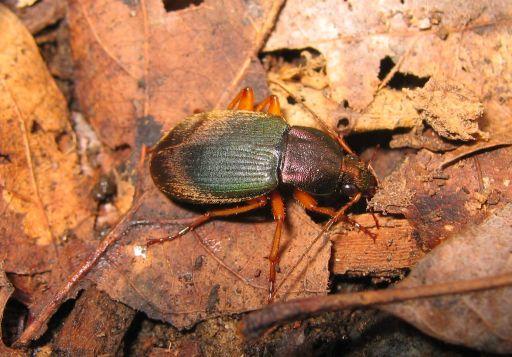 Ground Beetle - Chlaenius aestivus