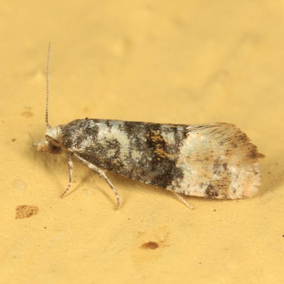 tiny Tortricid - Thyraylia nana