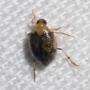 Two-toned beetle - Peltodytes