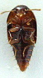 Coproporus laevis ? - Coproporus laevis